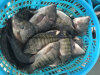 Chinese Best Gutted Tilapia Munufacturer