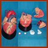 Big Size Medical Education Human Heart Anatomical Model (7 PCS)