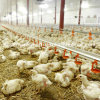Full Set High Quality Automatic Poultry Equipments for Broiler