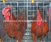 Good Price & Quality Automatic Hybird Chicken Cage Equipment System (A Type Frame)