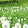 Cure Hapatitis: Wild Dandelion P. E. / 4% Flavonoids