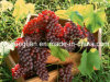 Natural Pure Grape Seed Extract/Grape Seed P. E. for Beauty