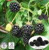 Blackberry Extract Anthocyanidins
