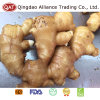 High Quality Fresh Fat Ginger in Cartons