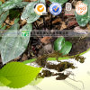 Pure Natural Herb Medicine Herba Asaricum Radice Xi Xin