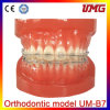 Human Medical Orthodontic Dental Model, Orthodontic Model