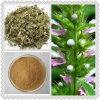 High Grade Motherwort Herb Extract