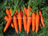 Fresh Carrot with High Quality for Exporting