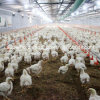 High Quality Automatic Poultry Breeding Equipment