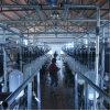 Milking Parlor Dairy Farm Machinery, Milking Machines
