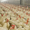 Automatic Poultry Farm Machinery for Breeder Farm