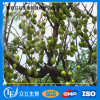 Szechwan Chinaberry Fruit P. E