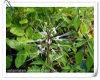 Natural Orthosiphon Aristatus/ Orthosiphon Stamineus 10: 1 Extract Powder