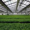 Pommercial Vegetable Greenhouse for Sale
