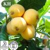 Rosaceae Plant Loquat Leaf Extract Ursolic Acid/Maslinic Acid/ Corosolic Acid
