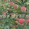 New Crop Chinese Red FUJI Apple