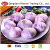 Export Standard Fresh New Crop Solo Garlic