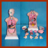42cm Human Anatomy Sexless Torso Model (14 PCS)