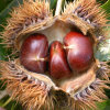 Export 60-80PCS/Kg New Crop Chestnut