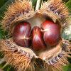 Export 60-80PCS/Kg New Crop Chestnut
