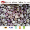 Fresh Top Quality New Crop Solo Garlic