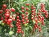 Calcium Amino Acid Chelate Fertilizer for Tomatoes