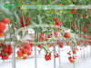 Glass Greenhouse for Tomato Growing