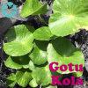 Gotu Kola Extract / Centella Asiatica Extract / Asiaticoside / Madecassoside