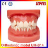 Dental Products Orthodontic Teaching Models Dental Orthodontic Model