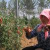 Medlar Lbp Goji Berry Dried Goji Fruit