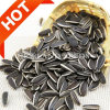 Hot Sale High Quality Organic Sunflower Seeds 5009