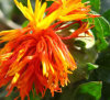 10: 1 Safflower Extract (Carthamin) , Pharmaceutical Ingredient