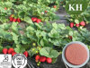 High Natural Instant Strawberry Powder