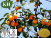 100% Natural Persimmon Extract with Leucoanthocyanin