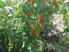 Organic Goji Berries with Highly Quality