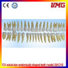 15X Actual Size Anatomically Shaped Teeth Model