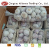 Top Quality Fresh Solo Garlic with Competitive Price