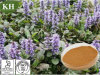 Pure Natural Ajuga Turkestanica Extract 10: 1