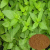 Natural Peppermint Extract in Stocks