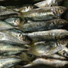 Supply High Quality Frozen Horse Mackerel