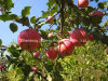 Shandong FUJI Apple with Good Quality for Exporting