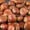 2016 Chinese Organic Fresh Chestnuts Raw Chestnut