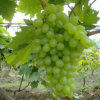 Chinese Fresh and Sweet Green Global Grape