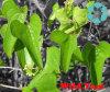 Wild Yam Extract / Dioscorea Oppositae Thunb / Diosgenin