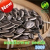 Inner Mongolia Hot Sale Sunflower Seeds