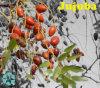 Ziziphus Jujuba Extract / Jujuboside / Saponin