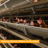 Automatic poultry equipment Layer raising chicken Cage