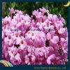 Buddleja Officinalis Extract