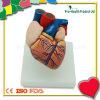 Medical Education Human Heart Anatomical Model