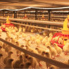 Automatic Poultry Cage for Broiler Chicken